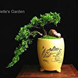 Seeds Cypress Multicolored Seeds 30pcs Golden Cypress Seeds Cupressus Macrocarpa Goldcrest Seed Bondai Plant The Budding Rate 90%