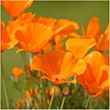 Package of 2,000 Seeds, Orange California Poppy (Eschscholzia californica) Non-GMO Seeds by Seed Needs