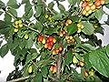 Rainier Cherry stratified Tree Live Seeds 20 red Yellow Sweet Fruits Garden Yard