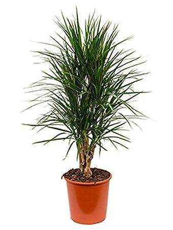 Drachenbaum 100 130 Cm Im 27 Cm Topf Große Zimmerpflanze Wenig Licht
