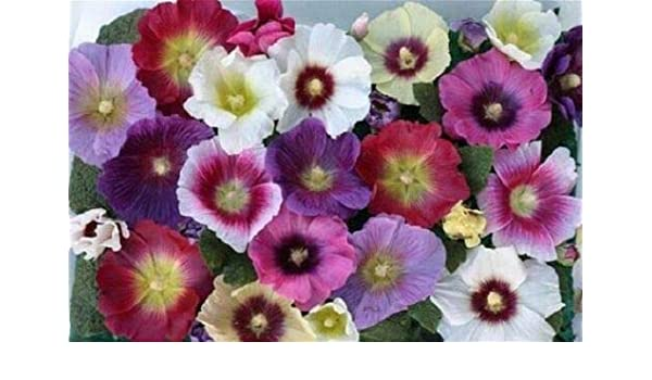 Hollyhock Seeds 25 Halo Hollyhock Perfection Mix Seeds Perennial Seeds