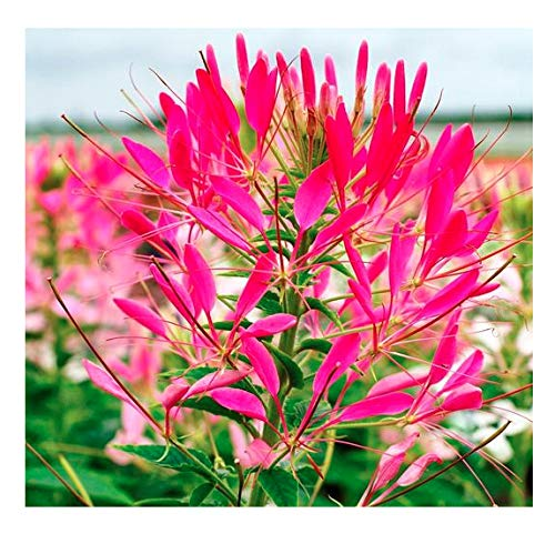 Cherry Queen Cleome Seeds - Tall, Spider Plant That Attracts Pollinators and Butterflies