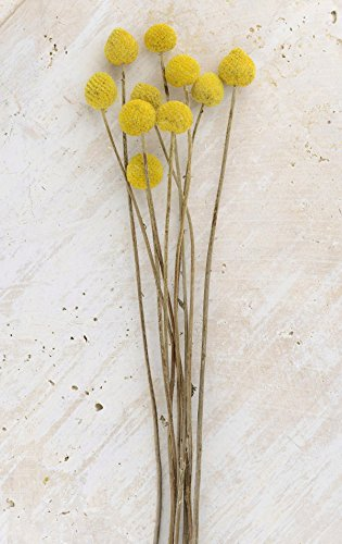 Billy Buttons - Richland Preserved Billy Buttons Craspedia Set of 10