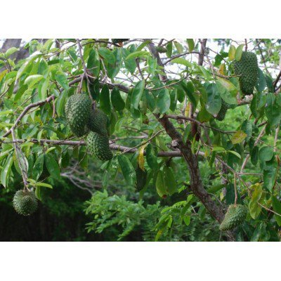 Soursop Tree 10 Seeds (Annona muricata) Produces Delicious Fruit (Fruit Tree Soursop)