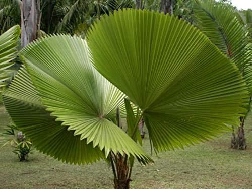 10pcs Fresh Licuala grandis Palm Tropical Evergreen Fan-Shaped Bonsai Potted Tropical Ornamental Tree Plant sementes semillas