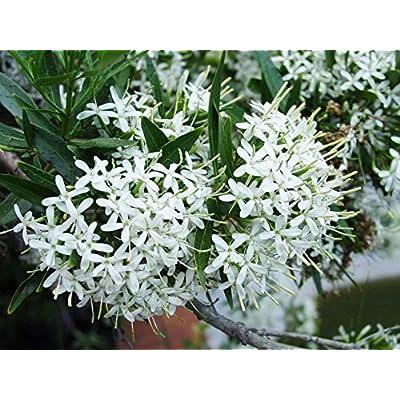 Pavetta Lanceolata - Bride Bridal Bush - Rare Tropical Shrub Seeds (10) : Garden & Outdoor