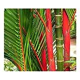Cyrtostachys renda - Red sealing wax palm – Lipstick palm - 15 seeds