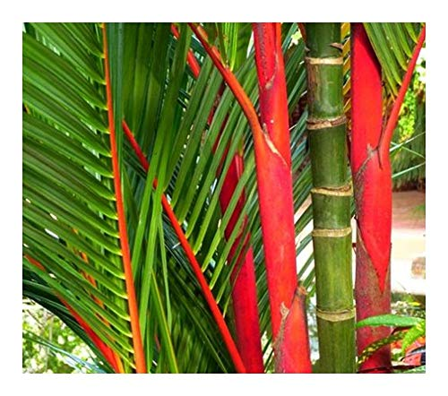 (Cyrtostachys Renda - Red Sealing Wax Palm - Lipstick Palm - 15 Seeds)