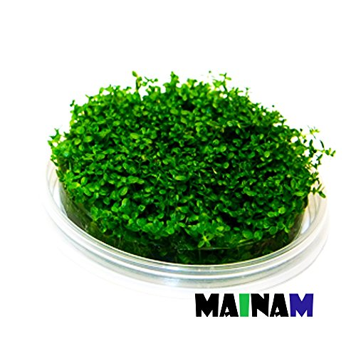 (1-Cup) Dwarf Baby Tears Carpet Imported Direct From Grower Live Aquarium Plants Decoration Tissue Culture For Freshwater Aquatic Plant Tank By Mainam (Baby Tears Plant)