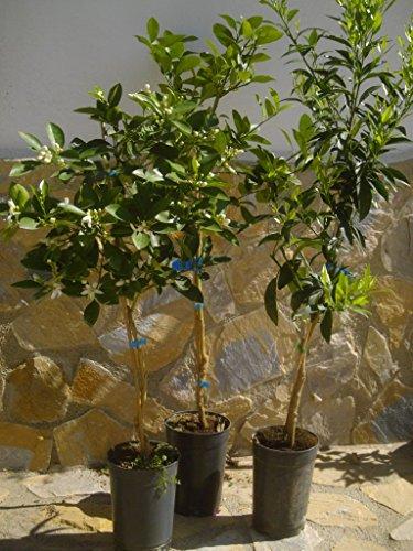 Lot de 3 arbres de citron, mandarine et orange