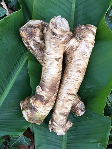 1 Lb. Horseradish Root. Great for Fall Planting! Make Tasty Sauces and Enjoy All Its Health Benefits! Sold By Weight, so You May Receive One Large Root, or Several Small Ones, Depending on Harvest.