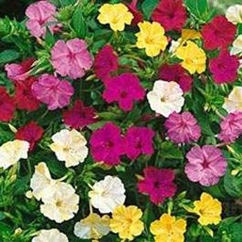 Dwarf Fairy Mix Candytuft Seed 500 Seeds  Pink Lavender White Flowers