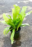 Asplenium Nidus Bird's Nest Fern indoor plants
