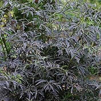(2 : Sambucus Nigra Black Lace by Sycamore Trading. A Recently Introduced Cultivar of Our Native Elder. (2))