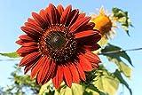 LuxeJoie Sunflower Seeds Velvet Queen Helianthus Annuus 1700 Seeds Grown & Harvested in Oregon