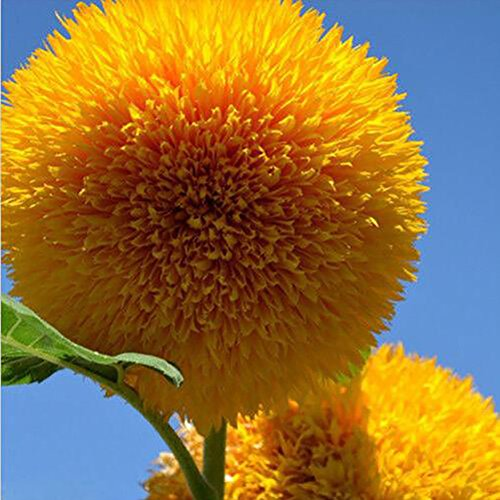 ETIAL 20Pcs Teddy Bear Sunflower Seeds Home Garden Semi Dwarf Helianthus