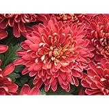 Red-pink Chrysanthemum Seed Pack