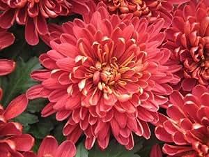 Amazon red pink chrysanthemum seed pack flowering plants share facebook twitter pinterest mightylinksfo