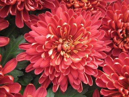 Amazoncom Red Pink Chrysanthemum Seed Pack Flowering Plants
