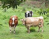 Cow Photograph - Barnyard Animal Art - Farmhouse Decor''When The Cows Come Home'' Rustic Wall Art