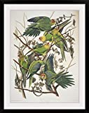 GreatBIGCanvas ''Carolina Parakeet, From 'Birds of America', 1829 (Coloured Engraving)'' by John (1785-1851) Audubon Photographic Print with black Frame, 27'' X 36''''