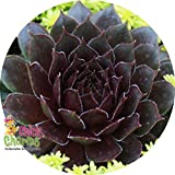 "Bing Cherry Hens & Chicks - Sempervivum - Indoors/Out - 3.5"" Pot - Chick Charms"