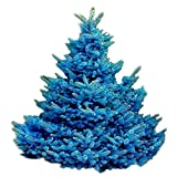 Spruce Tree Seeds - COLORADO BLUE - Versatile Evergreen Tree - Canada - 10 Seeds