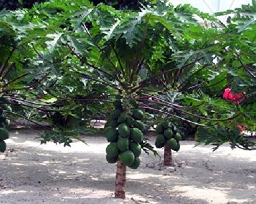 Carica Papaya Dwarf Papaya Live Fruit Tree Plant by gray-gardens (Image #2)
