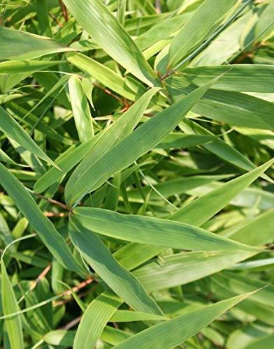 Fargesia rufa 'Green Panda' Bamboo - Live Plant - Trade 2 Gallon Pot Size  (Not for Sale to California)