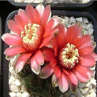 Pinkdose 20pcs / bag palla cactus, Gymnocalycium misto Pianta grassa bonsai giardino domestico di DIY trasporto libero: 2