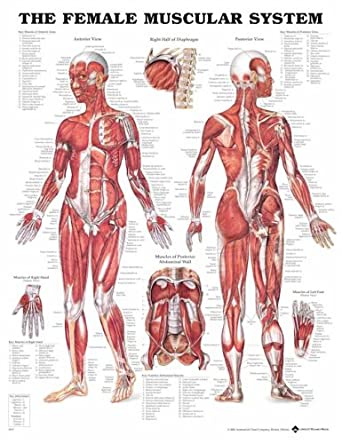 Female Muscular System Anatomical Chart Laminated 8947pl15 Amazon