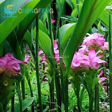 100 piezas Semillas cúrcuma raíces Curcuma longa de hierbas medicinales de la especia fácil cultivar semillas Semillas de plantas Adenium obesum Bonsai SVI