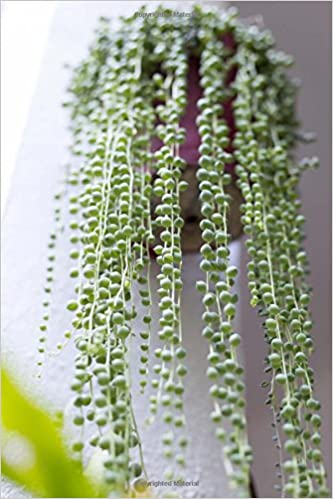 Cascading Bright Green String of Pearls Potted Plant Succulent