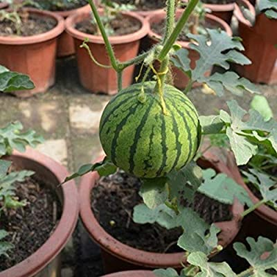 junshi11 20Pcs Mini Watermelon Seeds Sweet Delicious Fruit Yard Farm Bonsai Easily Grow, Annual Temperate Planting, Indoor Outdoor Decoration Garden Gifts Mini Watermelon Seeds : Garden & Outdoor