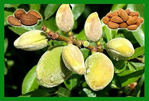 Bitter Almond, 7 Seeds (Prunus dulcis var. Amara) Rare Delicious Fruit Tree - Bonsai seeds (Anatolian - ()