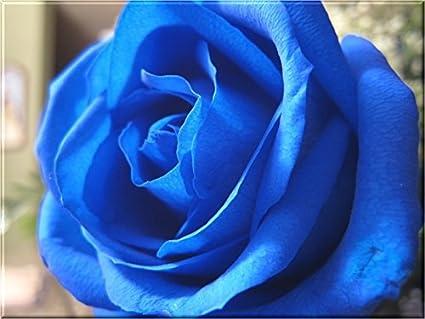 futaba blue rose seeds 100 pcs amazon in garden outdoors