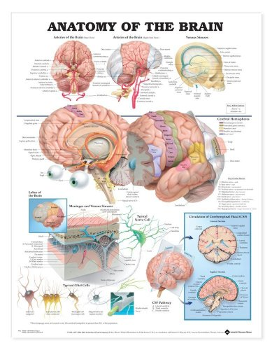 Aww 9781587790898 Anatomy of The Brain 20 in . Laminated