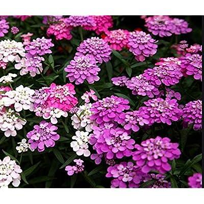 Candytuft Dwarf Fairy Mix Flower Seeds, 300+ Premium Quality Seeds, 90% Germination Rates, Vibrant Bright Color! High Demand!, (Isla's Garden Seeds), Chicorium Intybusm, Highest Quality Seeds : Garden & Outdoor