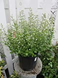 Calamintha nepeta ssp. glandulosa 'White Cloud' (Calamint) Perennial, white flowers, #2 - Size Container