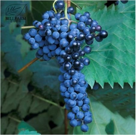 New and Fresh Frontenac Blue Grape Seeds - 100+ seeds by DGG