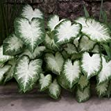 Caladium Aaron (6 Bulbs) Beautiful ornamental foliage. Now Shipping !