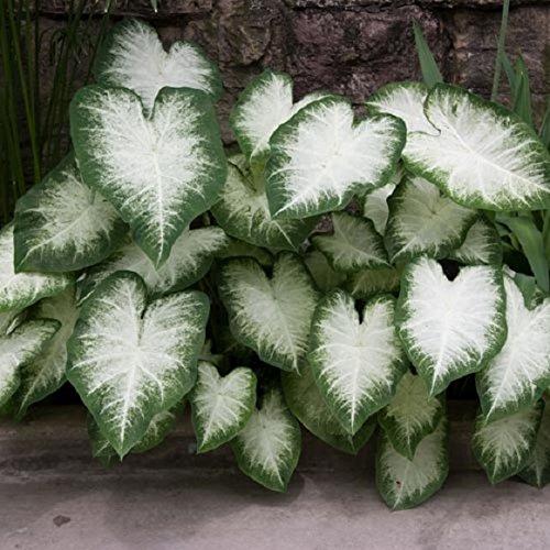 Caladium Aaron (6 Bulbs) Beautiful ornamental foliage. Now Shipping ()