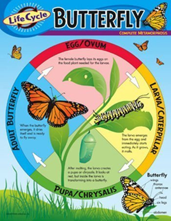 (Life Cycle of a Butterfly Poster by TREND ENTERPRISES INC.)