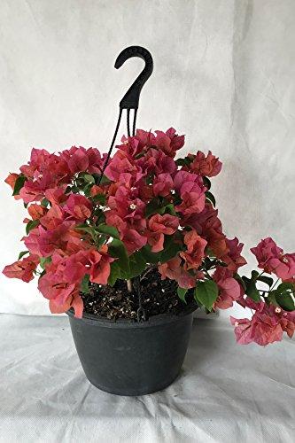 Assorted Bougainvillea Plant (flowers, hanging basket, bush, trellis, patio tree, vine) (5 Gal Trellis) by Root 98 Warehouse (Image #5)
