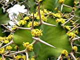 10 Seeds Euphorbia grandicornis Cow's Horn Catus