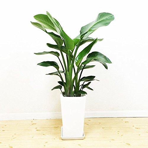 オーガスタ 感謝の木 陶器鉢 角型 観葉植物 中型 大型 インテリア ストレチアオーガスタ B01FKJJQQO