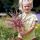"ALLIUM SCHUBERTII BULBS~18"" SPARKLER ONION~PLANT NOW FOR SPRING FLOWERS 1/3/5"