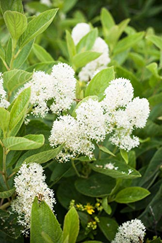20 White New Jersey Tea Hummingbird Flower Ceanothus Americanus Shrub Seeds - New Tea Jersey Shrub