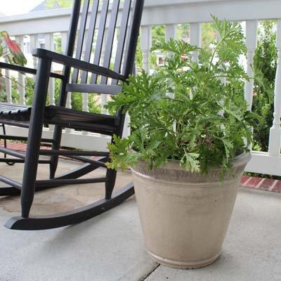Citronella Mosquito Plant