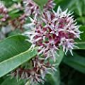 100 Showy Milkweed Seeds Asclepias Speciosa By Seeds2go